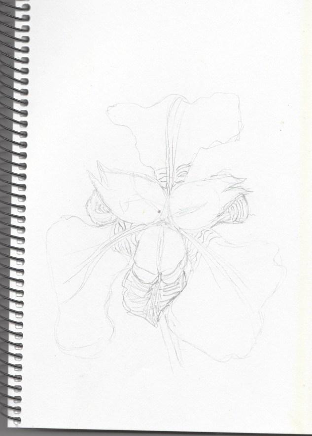Sketch of Dutch Iris.